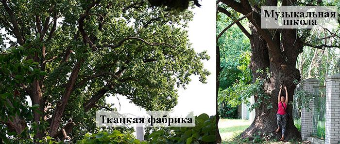 Переяслав-Хмельницкий. Многовековой дуб